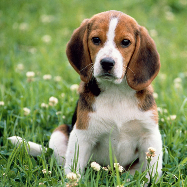 Buy Beagle Dogs Purchase Beagle Breed Pet Puppies In Delhi