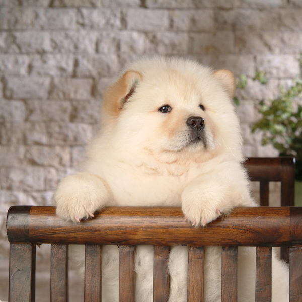 Buy Chow Chow Pet Puppy Puppies Purchase Chow Chow Dogs In Delhi