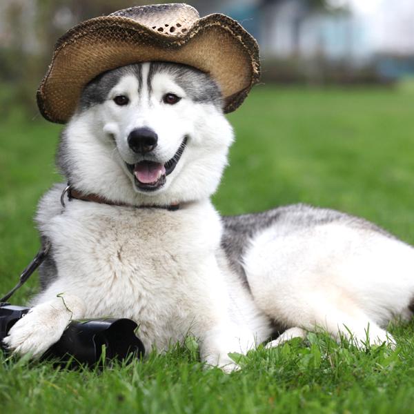 Buy Siberian Husky Dog Puppy For Sale Purchase Delhi Ncr